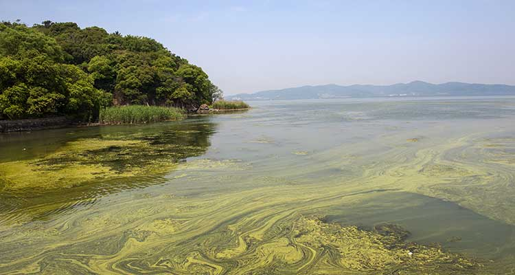 Algae Bloom Salt Water