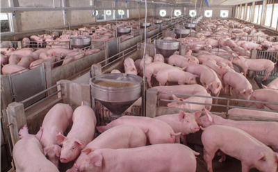 photo with lots of pigs inside barn